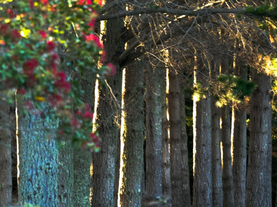 line-of-pines-1100798