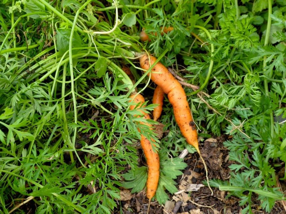 carrots-1120773