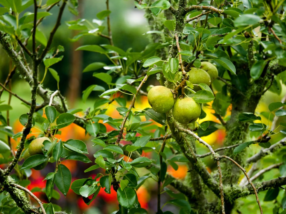 pears-in-the-rain-1120120