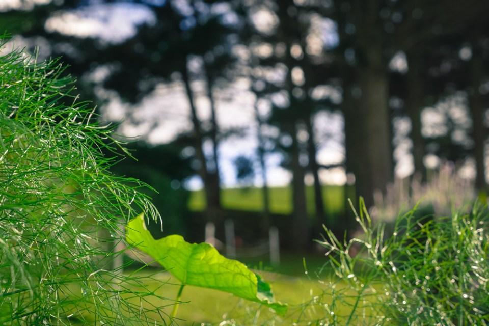 nasturtium-fennel-1140847