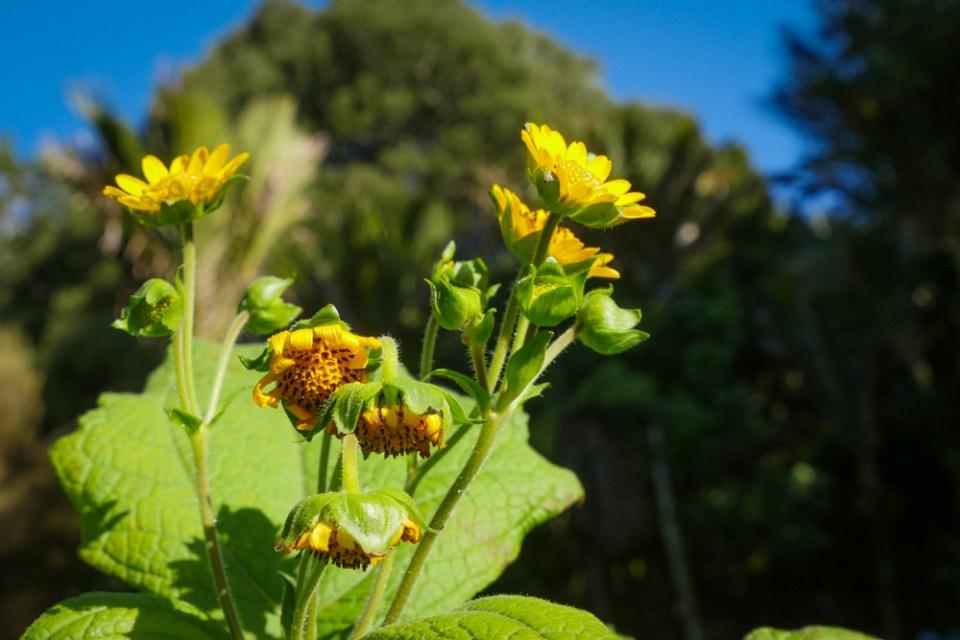 yakon-flowers-1150111