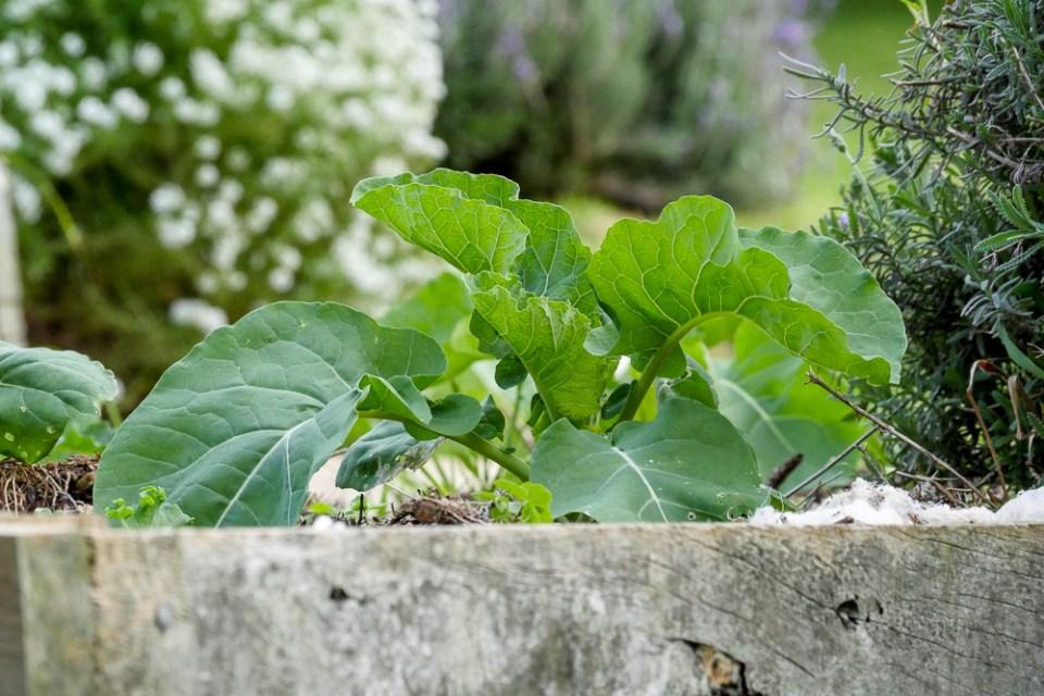 broccoli-1150420