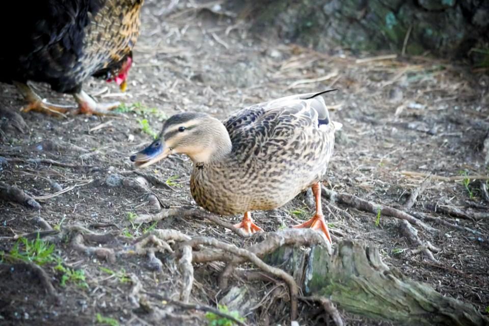 mallard duck-1150926