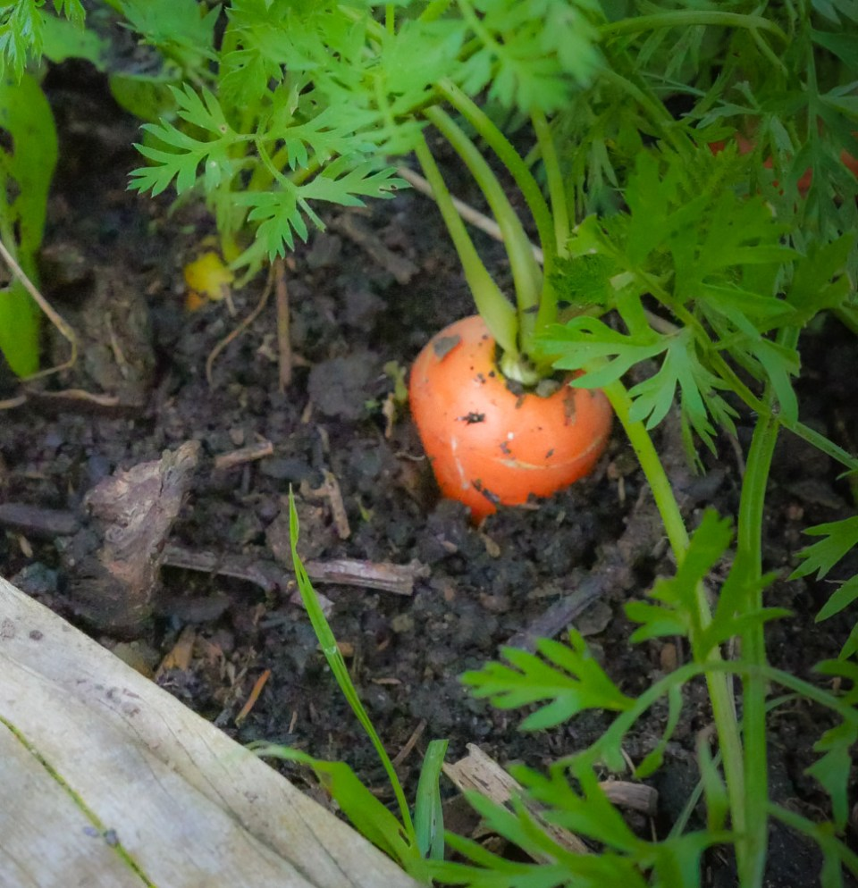 carrot-1160059