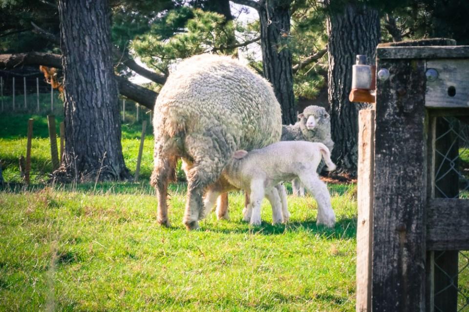 lamb-feeding-1160367