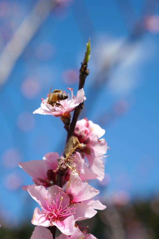 peach blossom-1180264