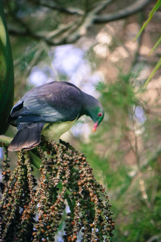 wood pigeon-1180378