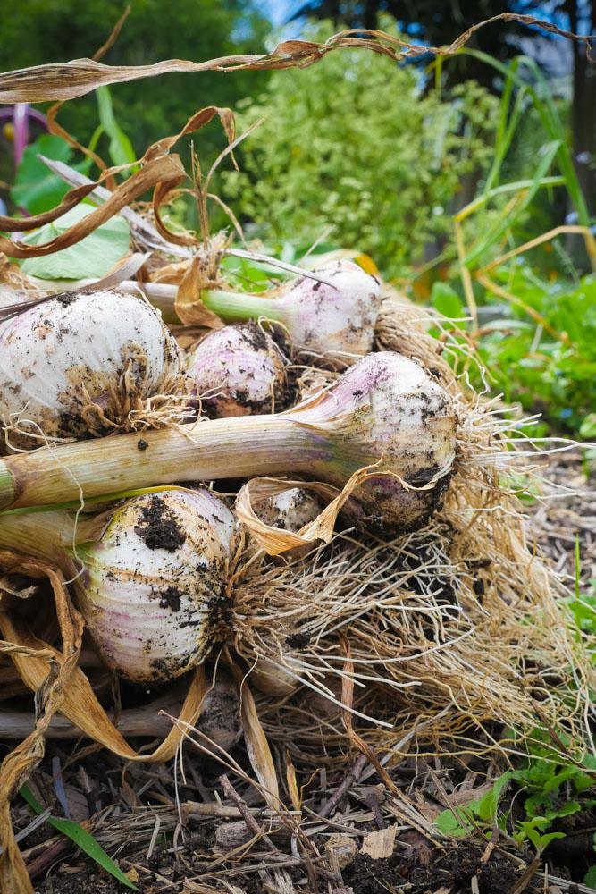 garlic-1200645