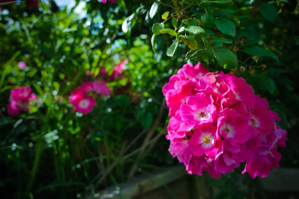 pink roses-1200359