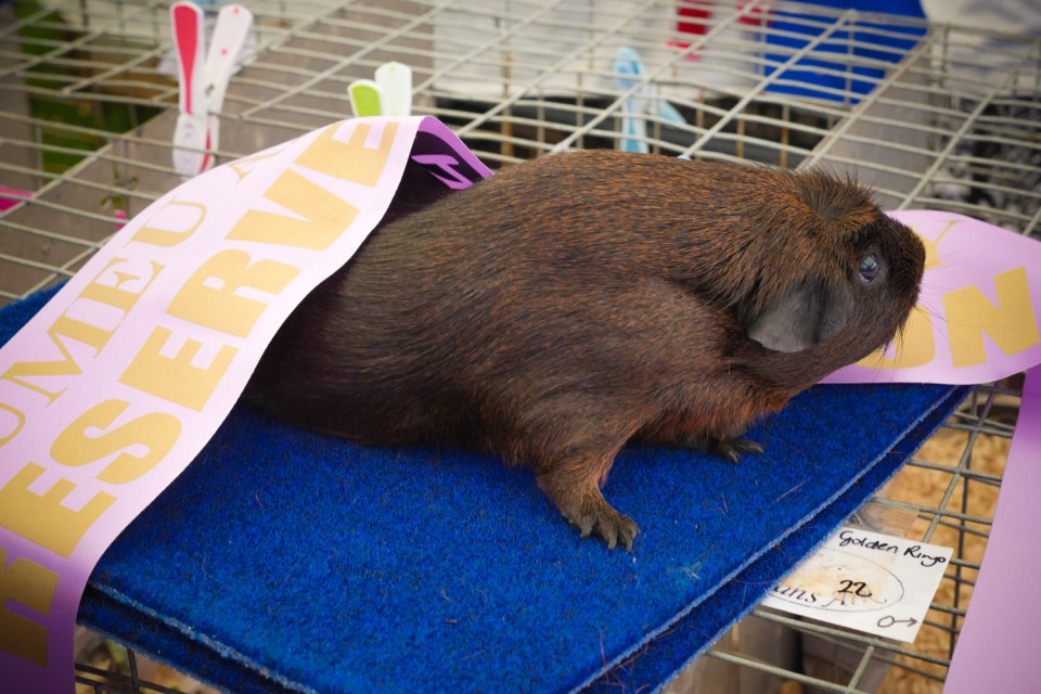 award winning guinea pig