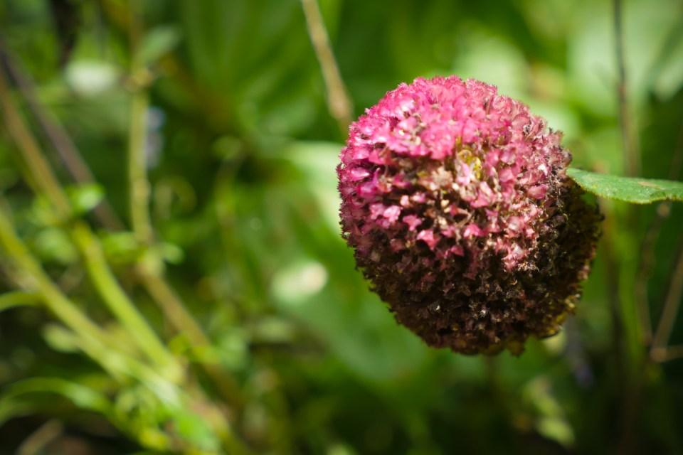 zinnia without petals