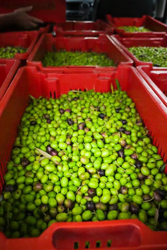 Olives 2016-1240992