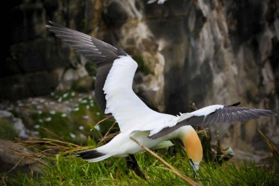 gannet-1270788
