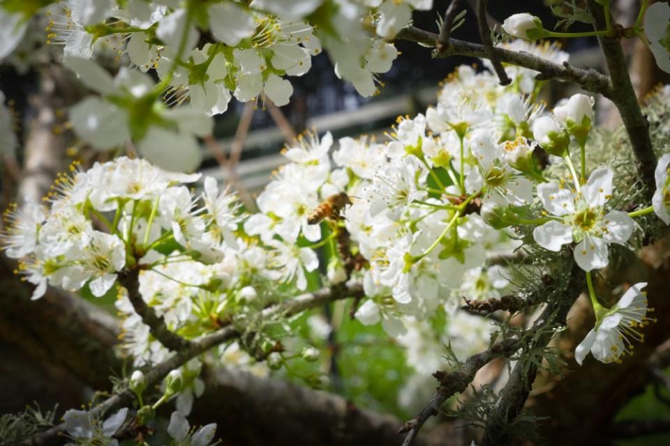 plum_blossom-1270620