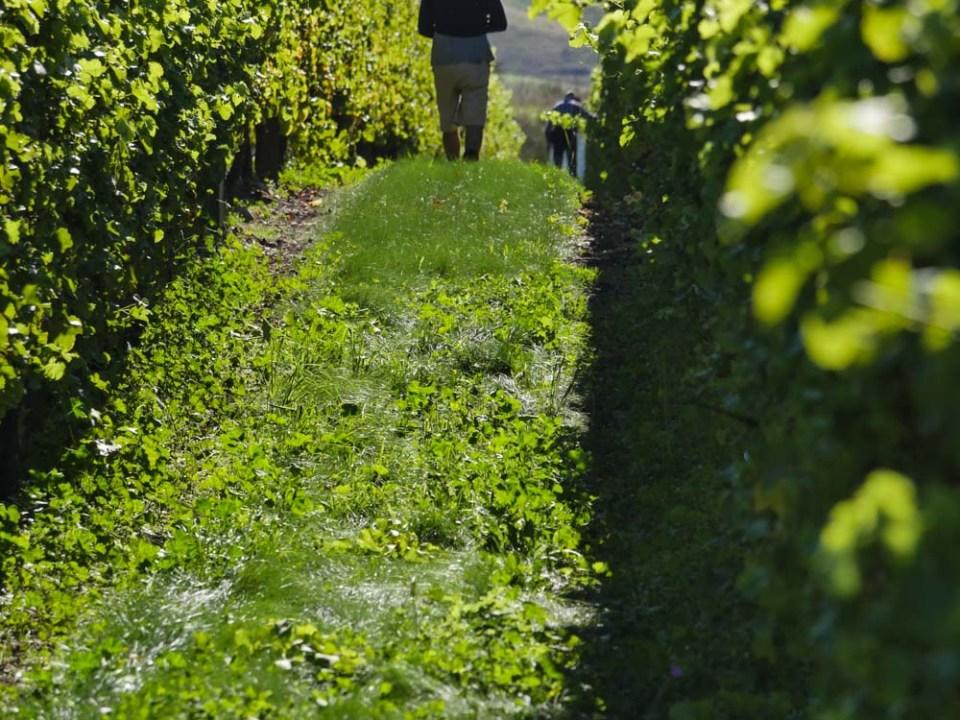 between the vines