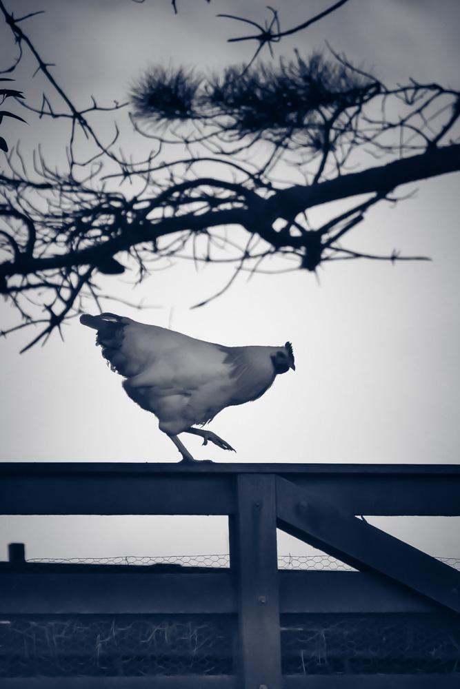 Lavender Sussex rooster