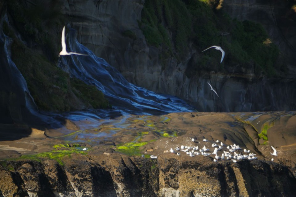 birds at Muriwai beach