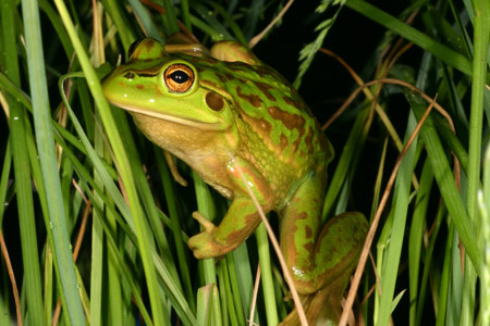 Image result for grass frog
