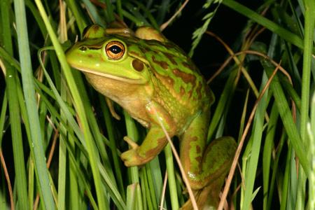 Image result for grass frog