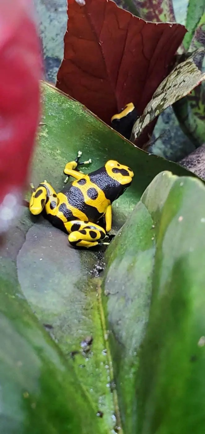 dendrobates leucomelas bumblebee dart frogs
