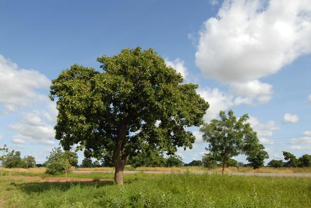 Shea butter tree