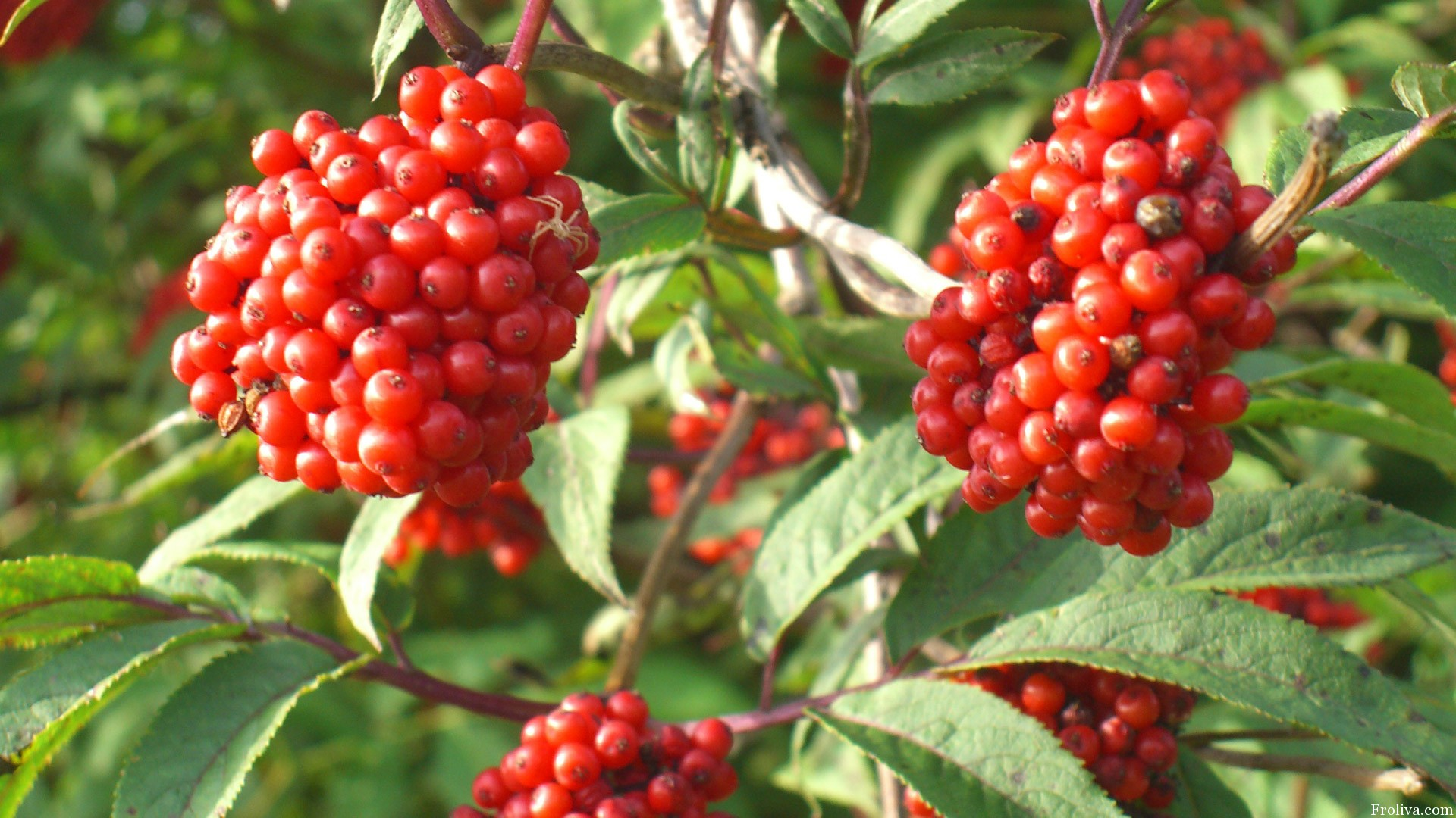 Красная бузина корень псориаз - Псориаз. Лечение