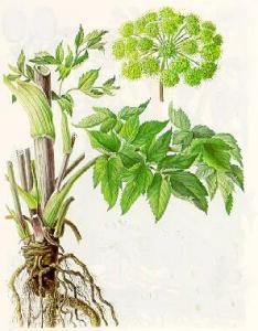 ,,Анжелика,, корень анжелики (дягель) для лечения щитовидки