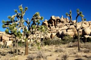Joshua-Tree tree