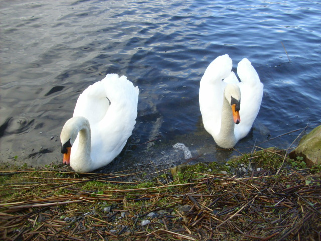 Swans by Lough Meelagh.  (1/3)