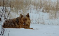 Guard Dog ~ From a Montana Front Porch