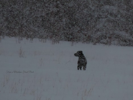 The pit bull loves the snow!