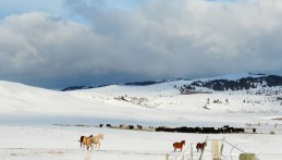 Returning to the herd ~ From a Montana Front Porch