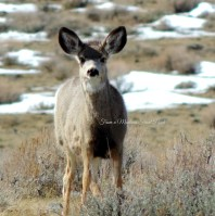 Curious Mule Deer ~ From a Montana Front Porch