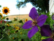 Vibrant Clematis ~ From a Montana Front Porch