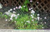 Flowering Chives - From Anna's Kitchen (www.fromannaskitchen.com)