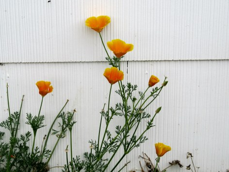 California Poppies in my Texas Flower Bed
