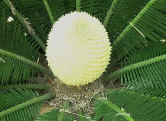 Sago palm in full bloom