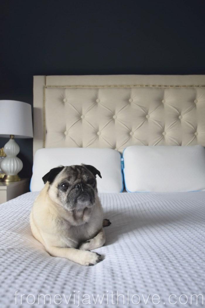 The Sleepbear Talalay Pillow and pug on the bed