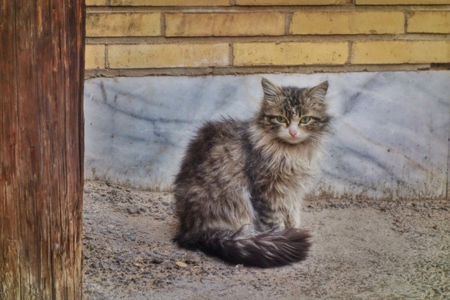 Cat in Iran