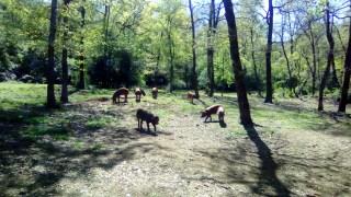 wild pigs (1)