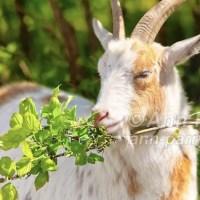Nigerian Dwarf Goats Walk in Norman J Levy Park & Preserve