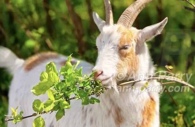 2012 Nigerian Dwarf Goats Walk in Norman J Levy Park & Preserve