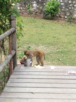 Monkeys messing with the trash in our yoga hall