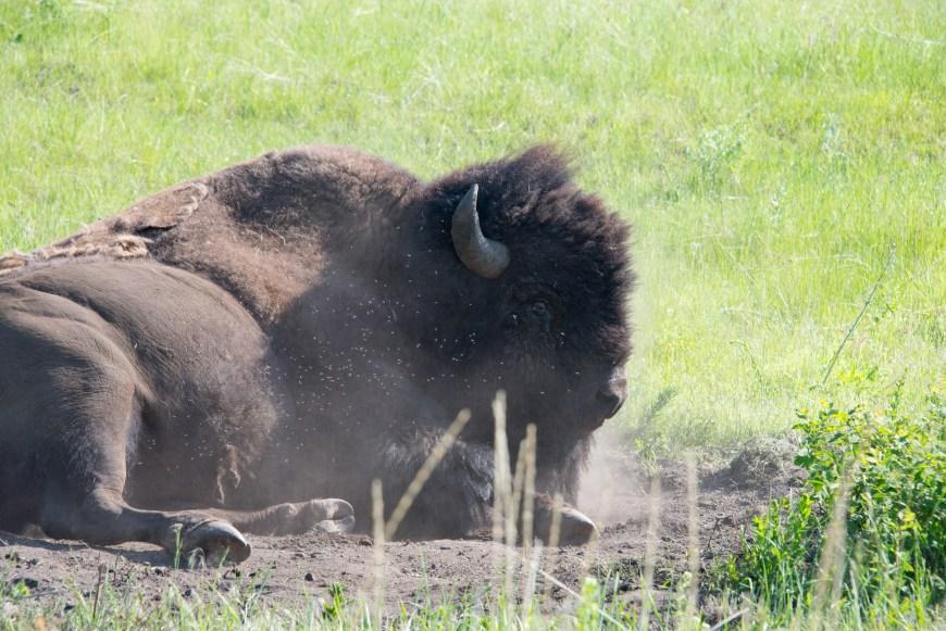 Bison National Range Bison