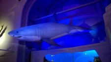 White shark model at the Museum of Natural History (Photo by Elina Mäntylä)