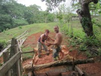 happy stompers working cow manure in with the soaking clay