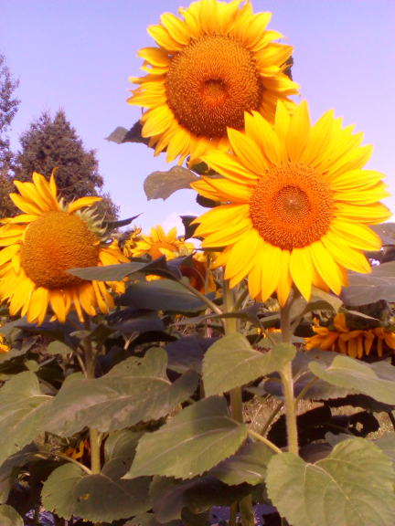 3 Sunflowers in the garden