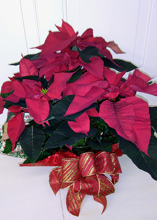 From the Heart Florist Christmas Poinsettias