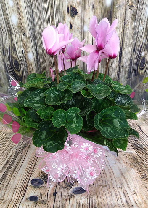 Valentine's Day Blooming Plants. From the Heart Florist
