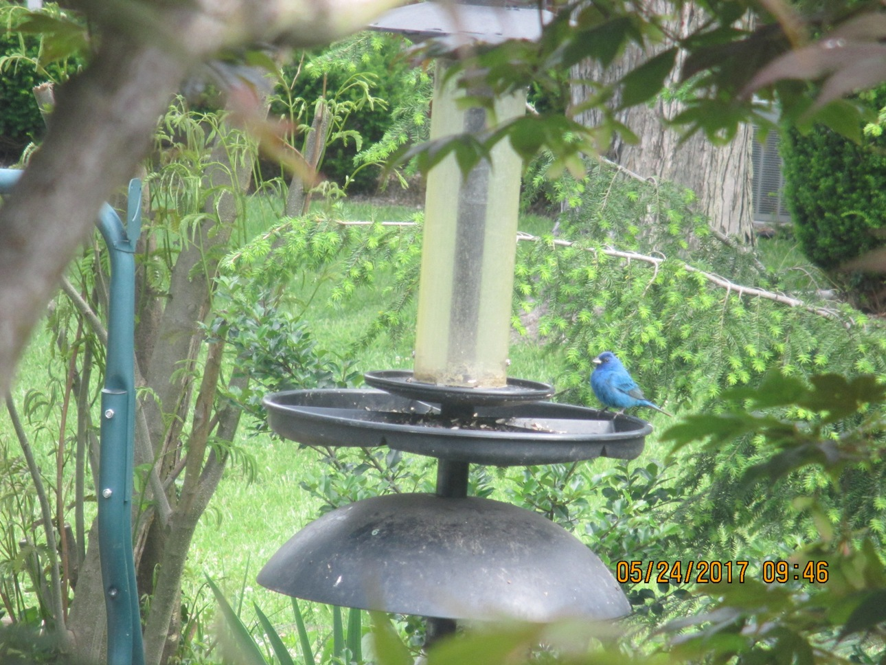 Indigo Bunting in our Back Yard | From the Trenches World ...